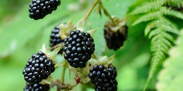 Blackberries - Top 5 Scottish Wild Foods