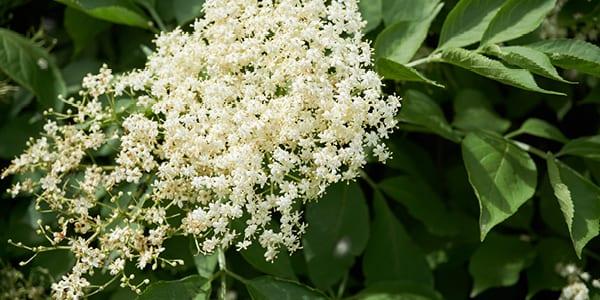 Elderflower - Wild Foods in Scotland