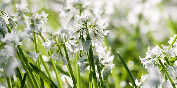 Wild Garlic - Top 5 Scottish Wild Foods